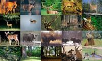 Deer Photo Screensaver