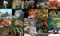 Tigers Photo Screensaver