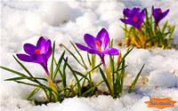 Crocus Flowers Among Icy Snow