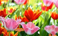 Fascinating Flowering Tulips ScreenSaver