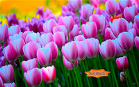 Springtime Tulips Carpet ScreenSaver