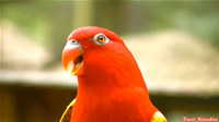 Wonderful Red Parrot Chatter ScreenSaver