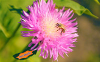 Summer Bee on Clover Flower ScreenSaver