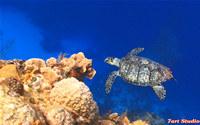 Turtle Swimming Coral Reef ScreenSaver